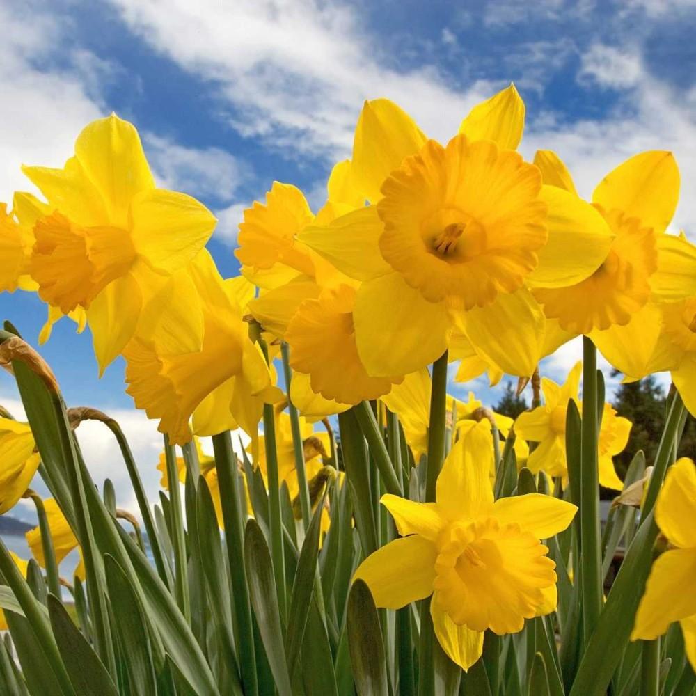 Spring Daffodils Tea Light