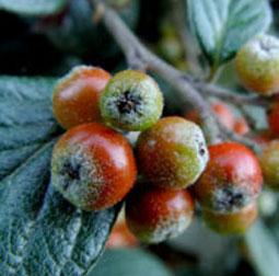 Snow Berries Tea Light