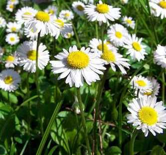 Camomile Comfort Fragrance Oil