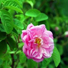 Rose Petals Wax Tart